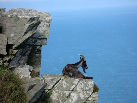 a goat lying on a cliff in front of the sea